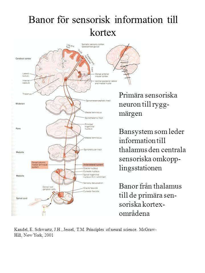 Banor för sensorisk information till kortex