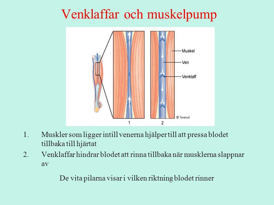Venklaffar och muskelpump