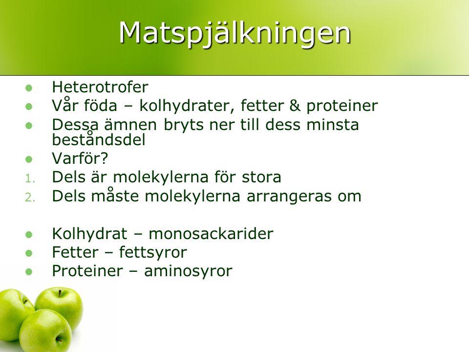 Matspjälkningen Heterotrofer