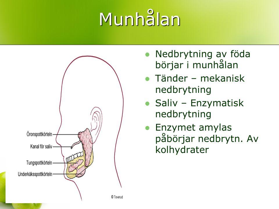 Munhålan Nedbrytning av föda börjar i munhålan