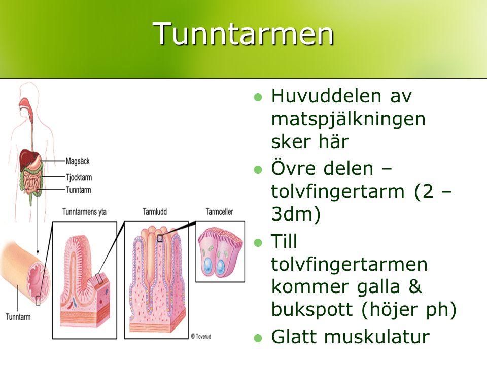 Tunntarmen Huvuddelen av matspjälkningen sker här