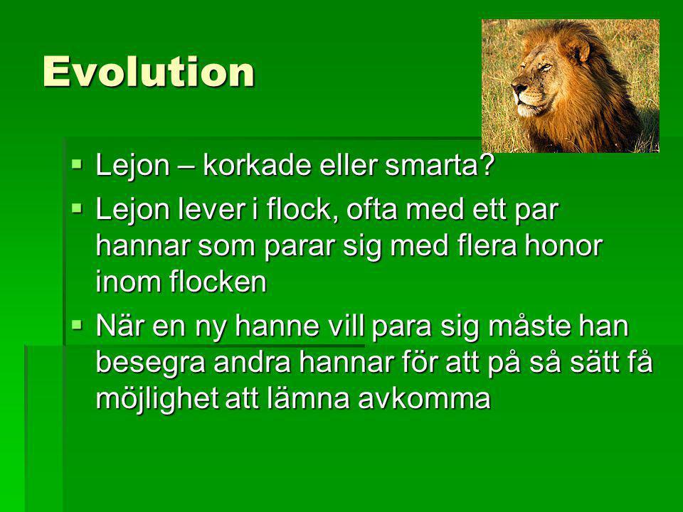 Evolution Lejon – korkade eller smarta
