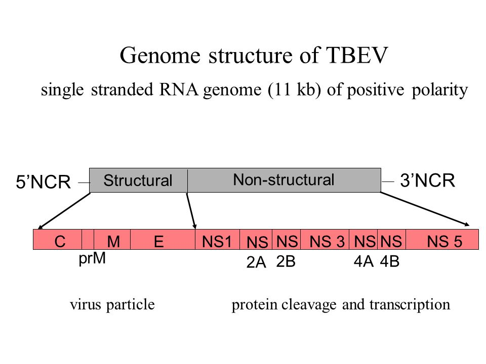 Genome structure of TBEV