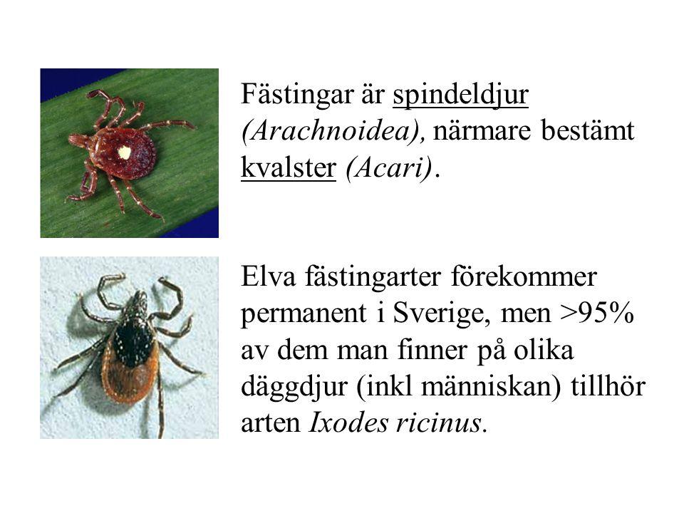 Fästingar är spindeldjur (Arachnoidea), närmare bestämt kvalster (Acari).