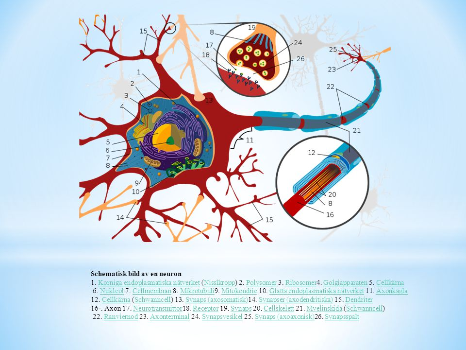 Schematisk bild av en neuron 1