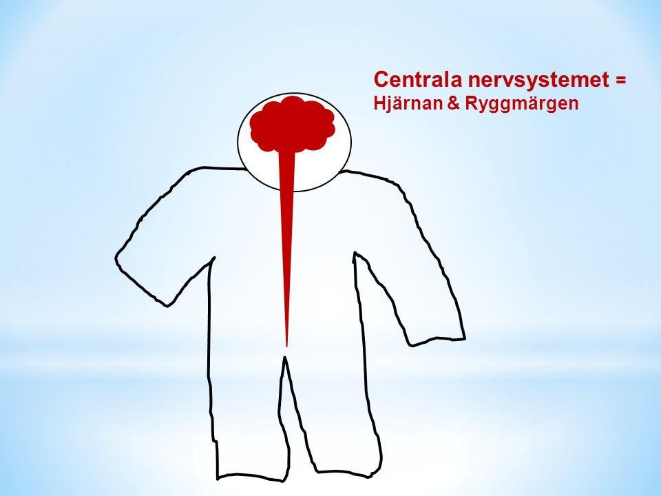 Centrala nervsystemet =