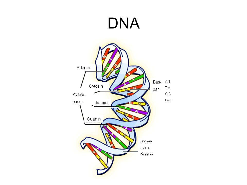 DNA Adenin Bas- par Cytosin Kväve- baser Tiamin Guanin A-T T-A C-G G-C