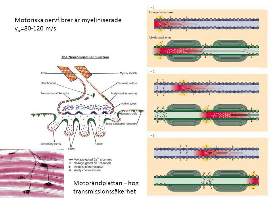 Motoriska nervfibrer är myeliniserade