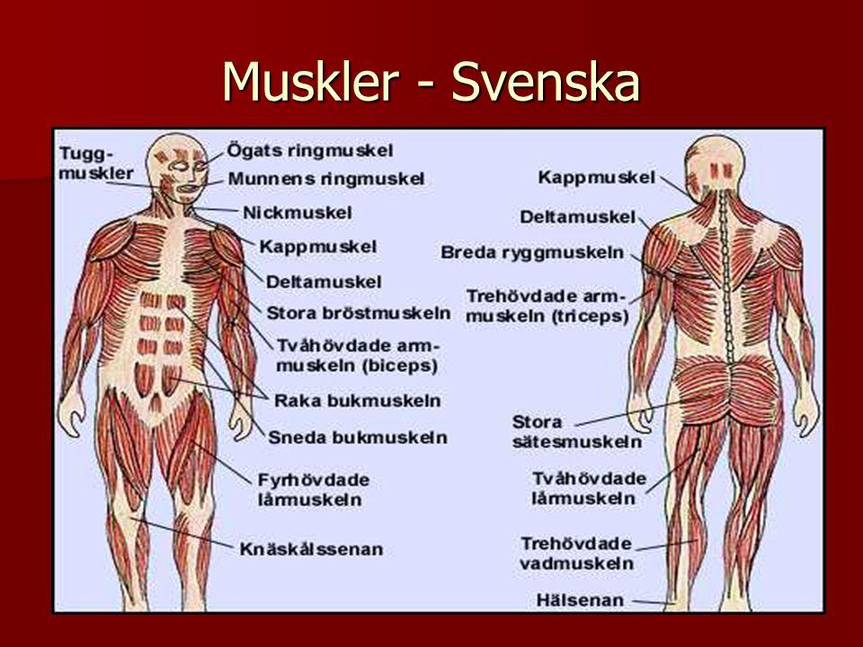 Muskler - Svenska
