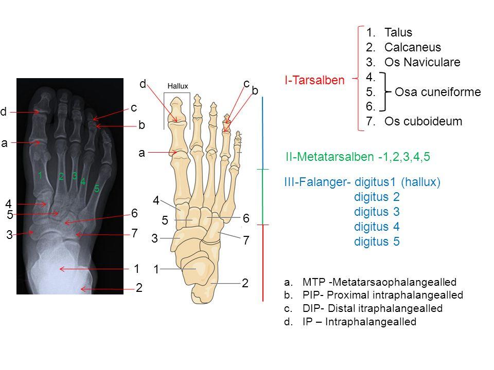 III-Falanger- digitus1 (hallux) digitus 2 digitus 3 digitus 4