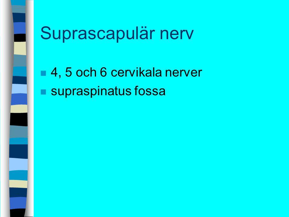 Suprascapulär nerv 4, 5 och 6 cervikala nerver supraspinatus fossa