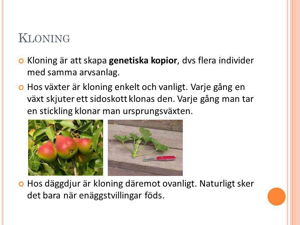 Kloning Kloning är att skapa genetiska kopior, dvs flera individer med samma arvsanlag.