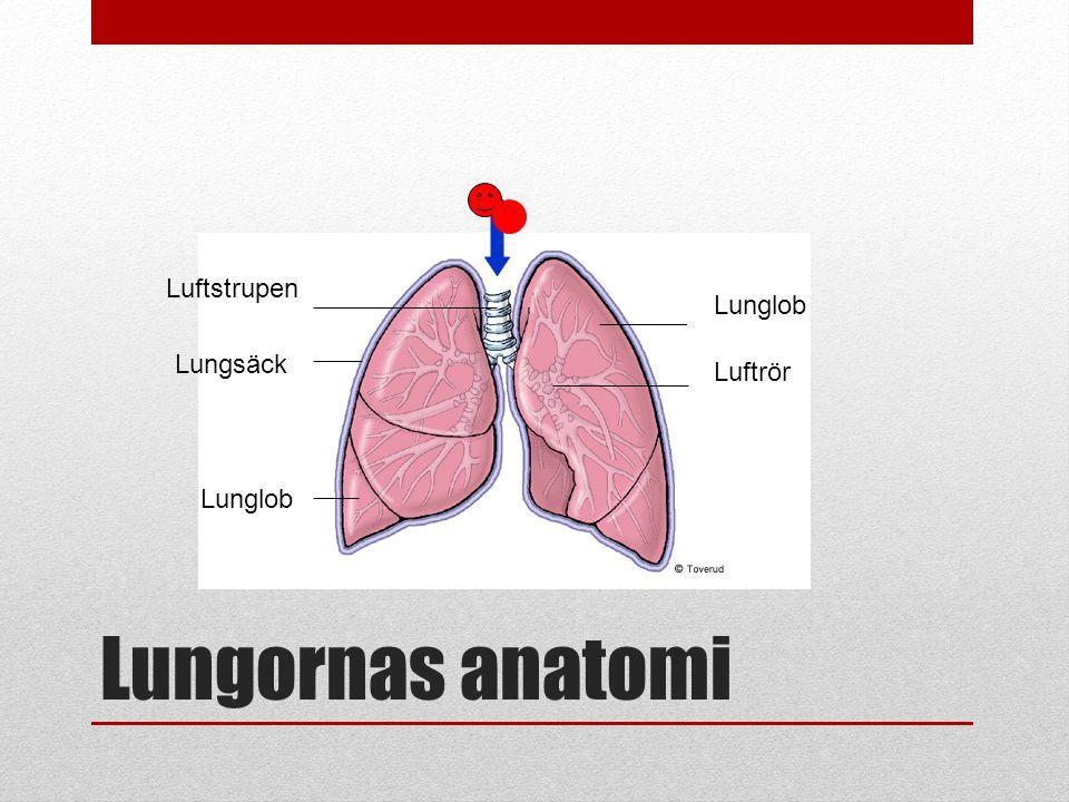 Luftstrupen Lunglob Lungsäck Luftrör Lunglob Lungornas anatomi