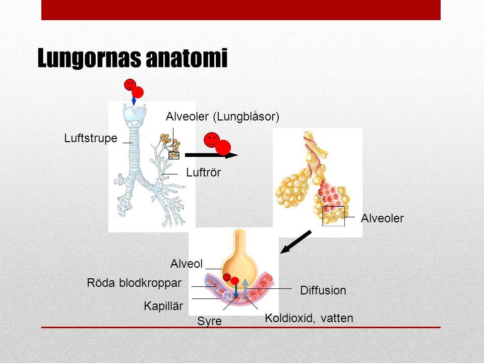 Lungornas anatomi Alveoler (Lungblåsor) Luftstrupe Luftrör Alveoler