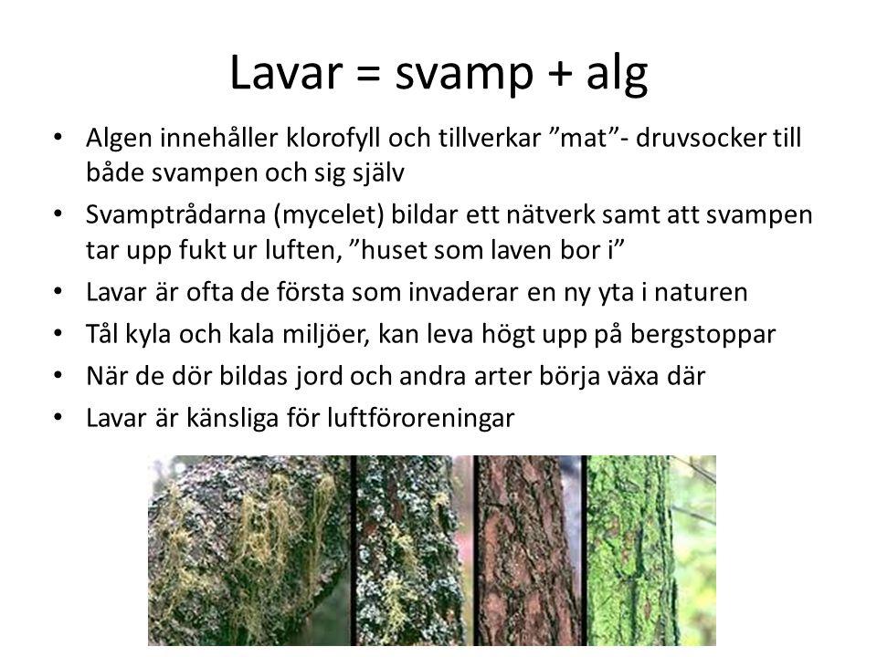 Lavar = svamp + alg Algen innehåller klorofyll och tillverkar mat - druvsocker till både svampen och sig själv.