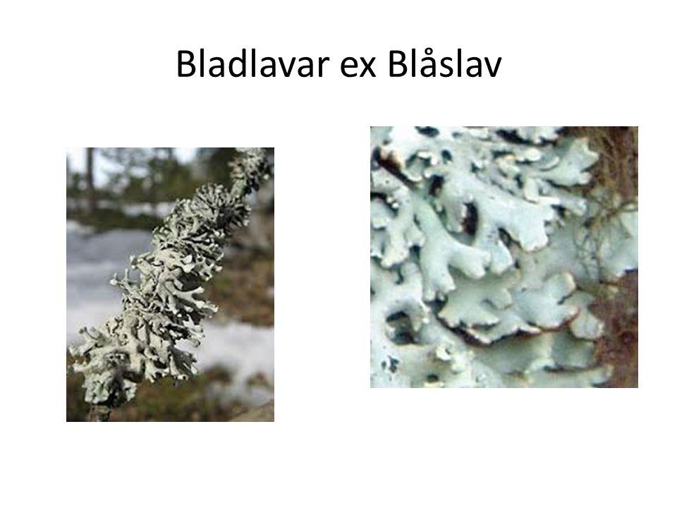 Bladlavar ex Blåslav