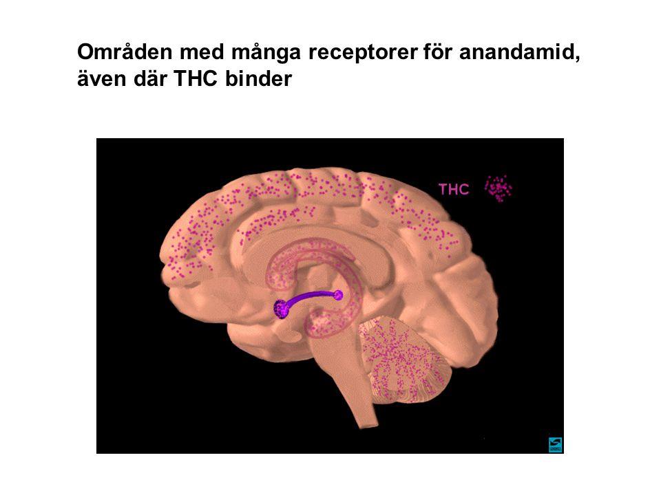 Områden med många receptorer för anandamid,