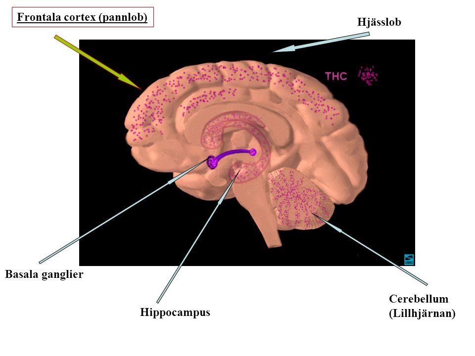 Frontala cortex (pannlob)