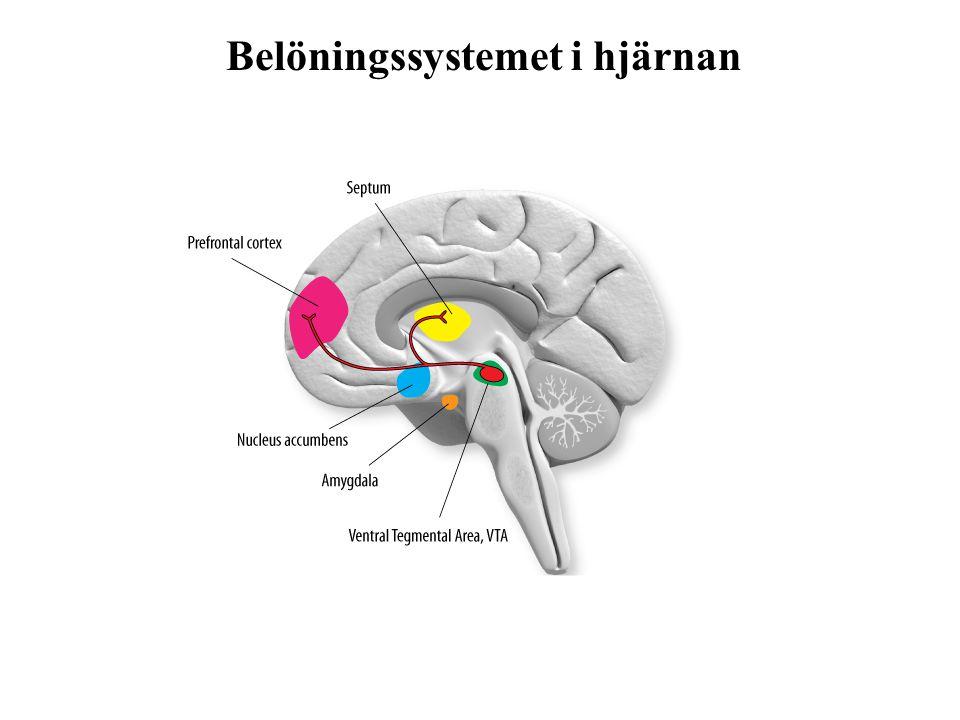 Belöningssystemet i hjärnan