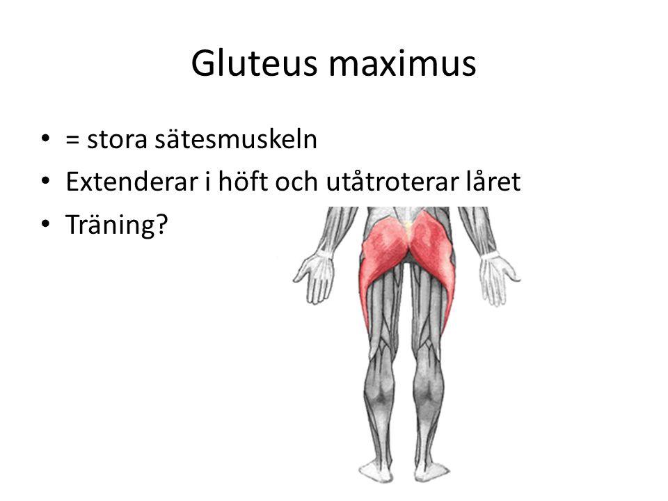 Gluteus maximus = stora sätesmuskeln