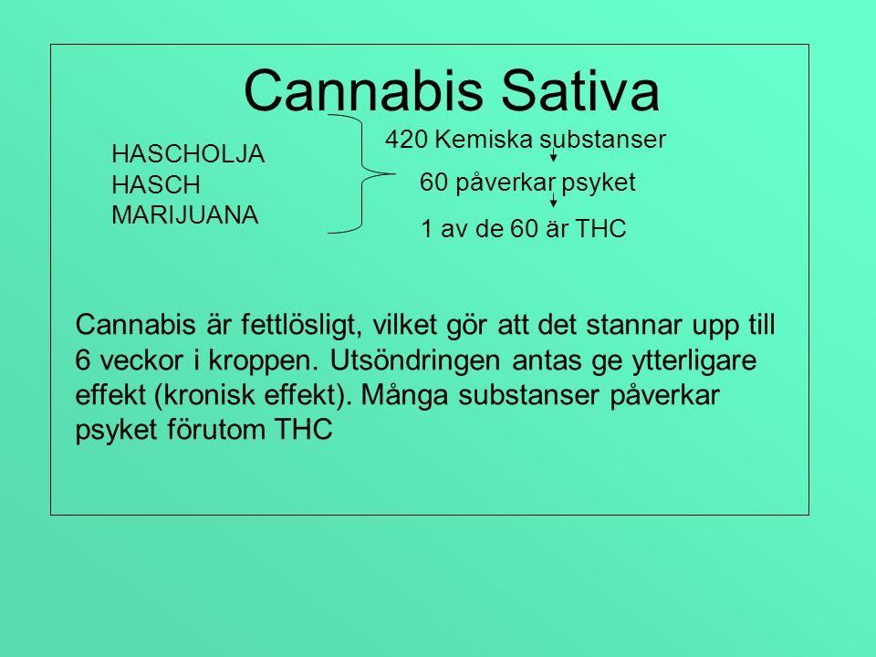 Cannabis Sativa 420 Kemiska substanser. HASCHOLJA. HASCH. MARIJUANA. 60 påverkar psyket. 1 av de 60 är THC.