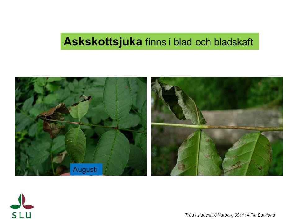 Askskottsjuka finns i blad och bladskaft