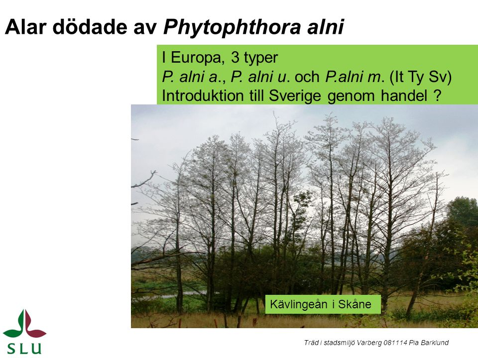 Alar dödade av Phytophthora alni