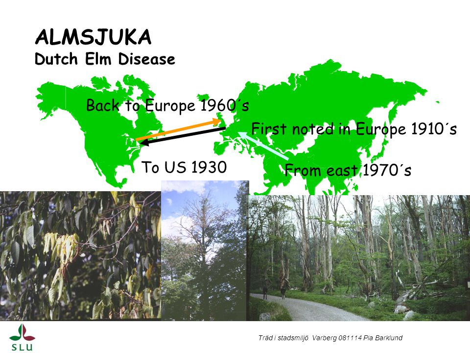 ALMSJUKA Dutch Elm Disease Back to Europe 1960´s