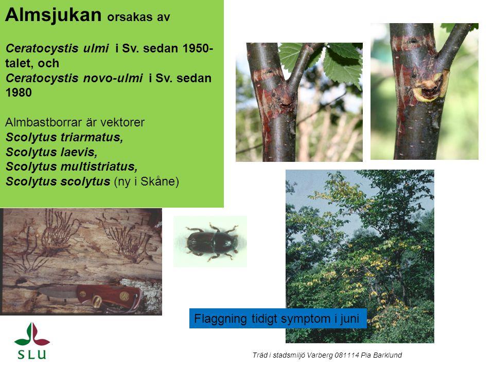 Almsjukan orsakas av Ceratocystis ulmi i Sv. sedan 1950-talet, och