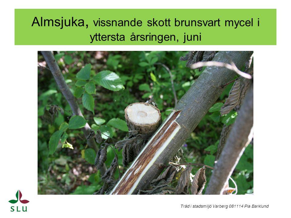 Almsjuka, vissnande skott brunsvart mycel i yttersta årsringen, juni