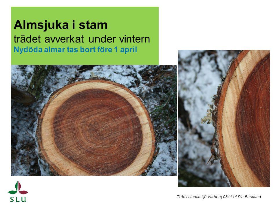 Almsjuka i stam trädet avverkat under vintern Nydöda almar tas bort före 1 april