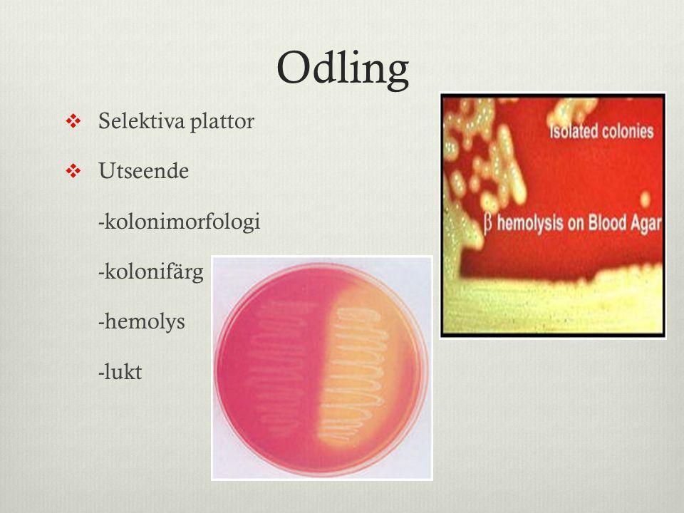 Odling Selektiva plattor Utseende -kolonimorfologi -kolonifärg