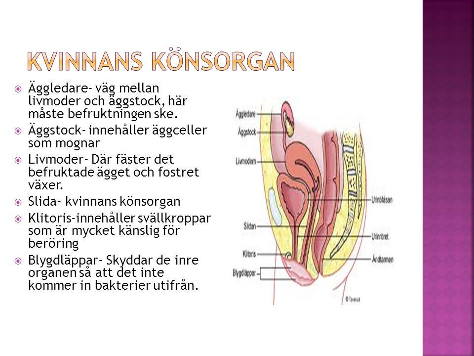 Kvinnans könsorgan Äggledare- väg mellan livmoder och äggstock, här måste befruktningen ske. Äggstock- innehåller äggceller som mognar.