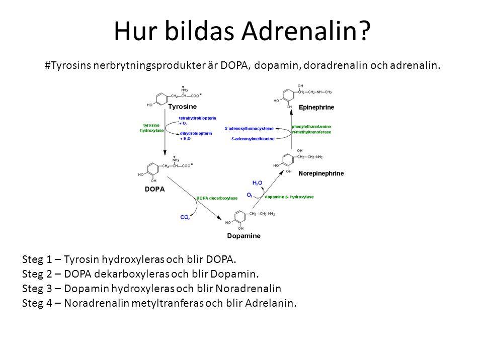 Hur bildas Adrenalin #Tyrosins nerbrytningsprodukter är DOPA, dopamin, doradrenalin och adrenalin.
