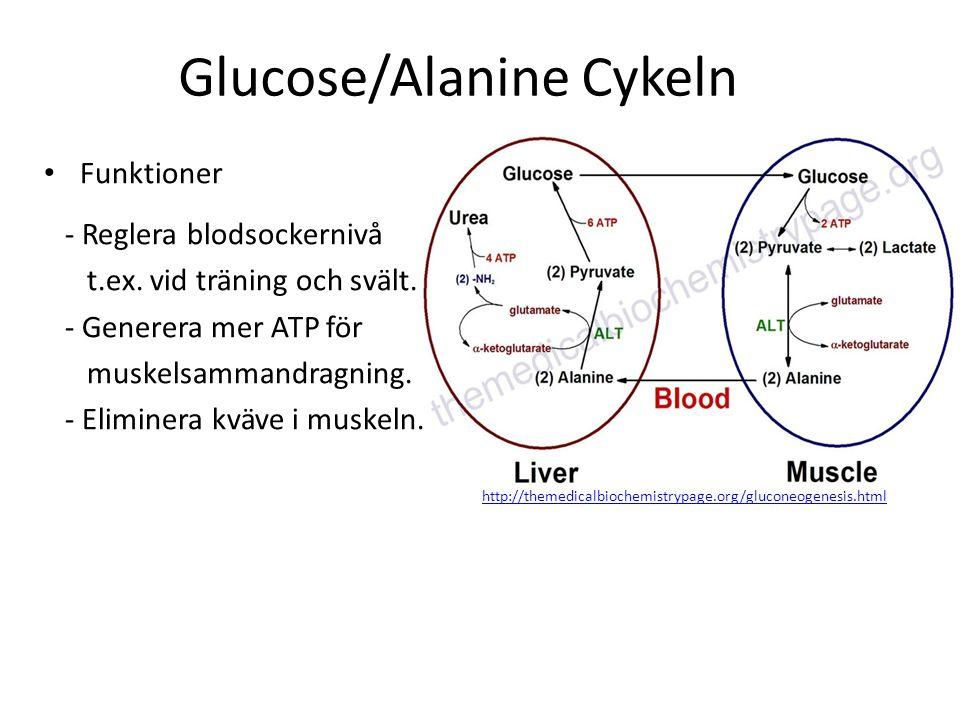 Glucose/Alanine Cykeln