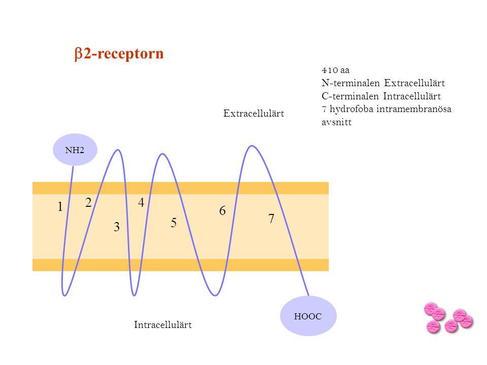 b2-receptorn 1 2 3 4 5 6 7 410 aa N-terminalen Extracellulärt