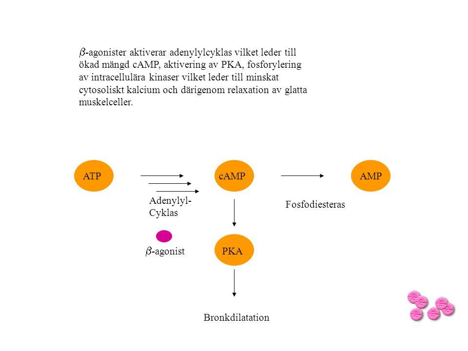 b-agonister aktiverar adenylylcyklas vilket leder till