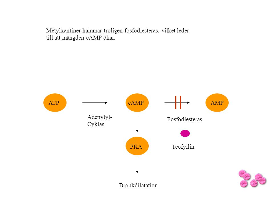 Metylxantiner hämmar troligen fosfodiesteras, vilket leder