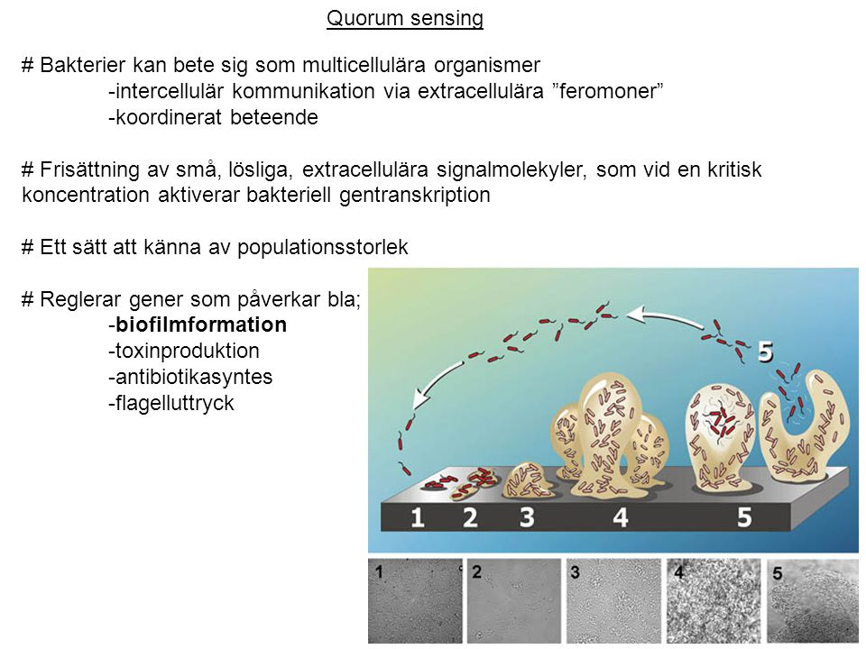 Quorum sensing # Bakterier kan bete sig som multicellulära organismer. -intercellulär kommunikation via extracellulära feromoner