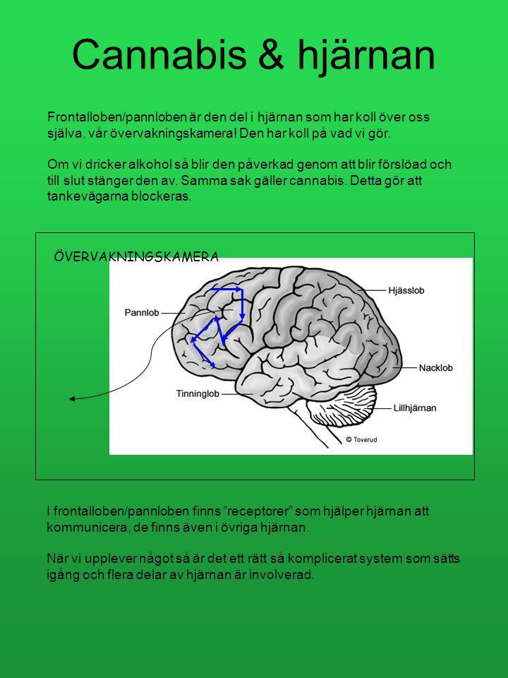 Cannabis & hjärnan Frontalloben/pannloben är den del i hjärnan som har koll över oss själva, vår övervakningskamera! Den har koll på vad vi gör.