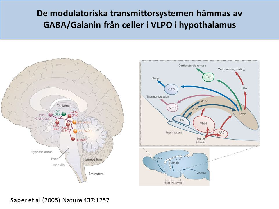 De modulatoriska transmittorsystemen hämmas av GABA/Galanin från celler i VLPO i hypothalamus