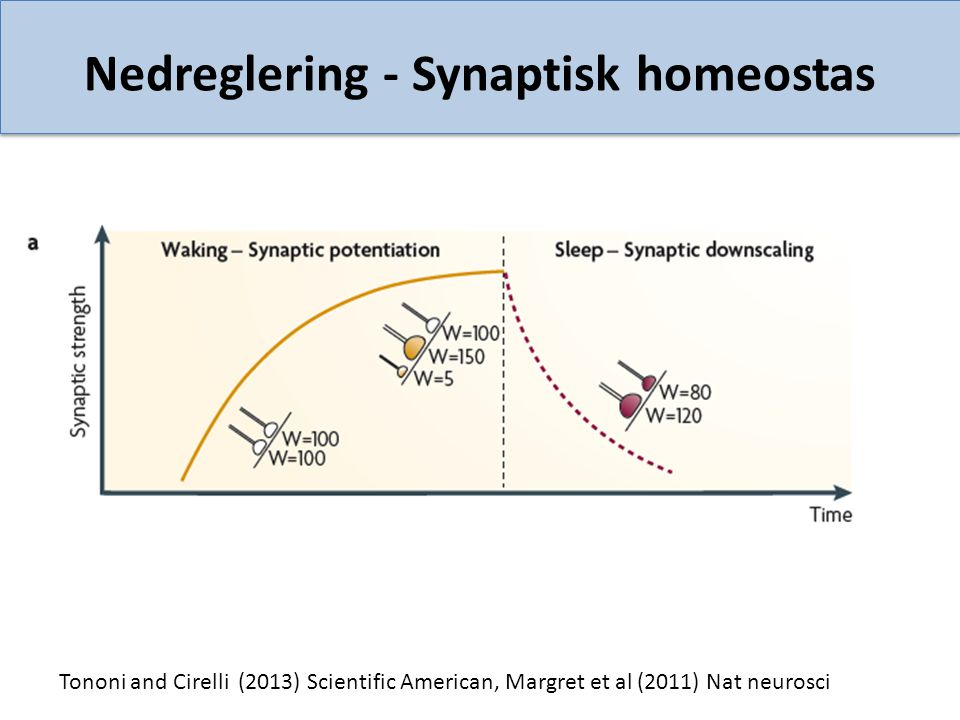 Nedreglering - Synaptisk homeostas