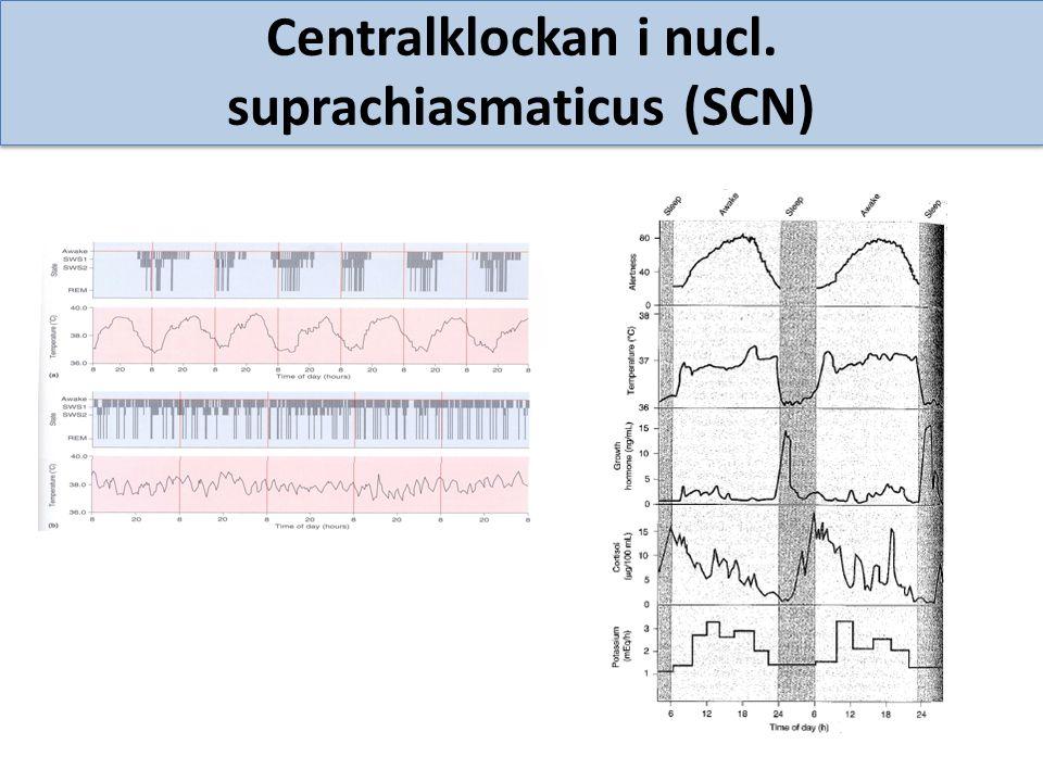 Centralklockan i nucl. suprachiasmaticus (SCN)