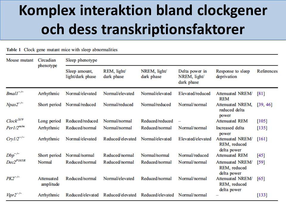 Komplex interaktion bland clockgener och dess transkriptionsfaktorer