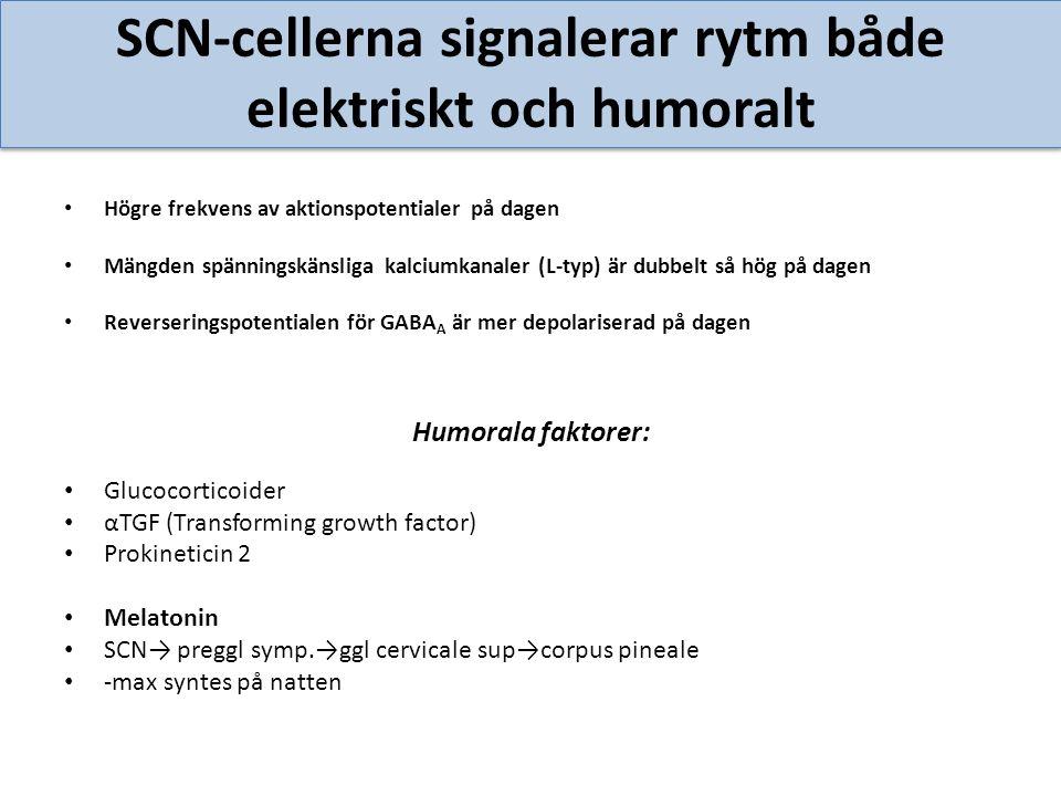 SCN-cellerna signalerar rytm både elektriskt och humoralt