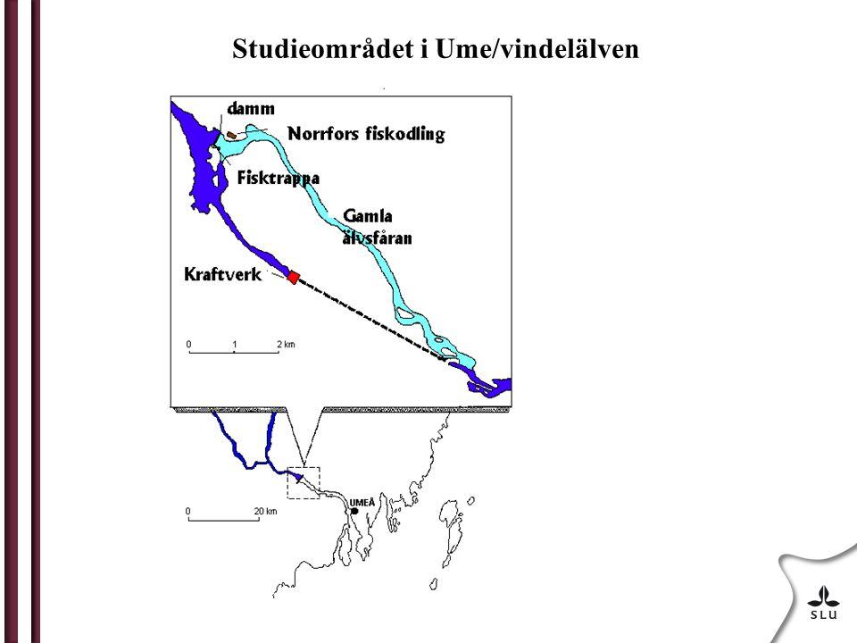 Studieområdet i Ume/vindelälven