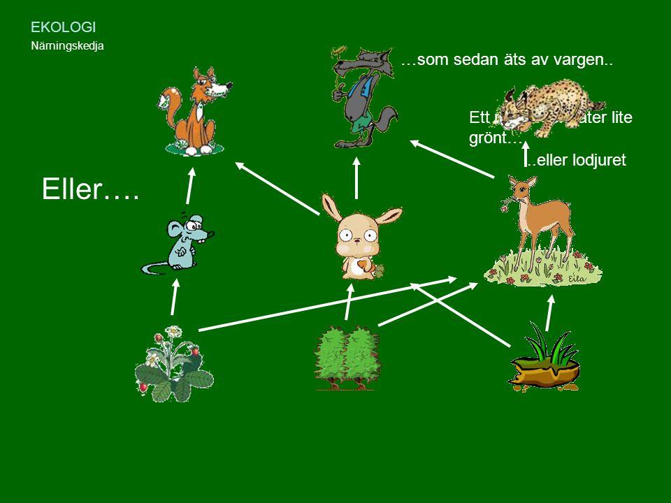 Eller…. …som sedan äts av vargen.. Ett rådjur som äter lite grönt…
