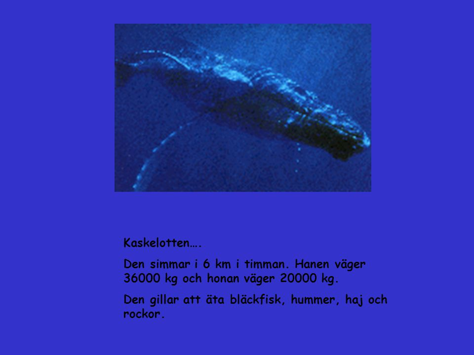 Kaskelotten…. Den simmar i 6 km i timman. Hanen väger 36000 kg och honan väger 20000 kg.