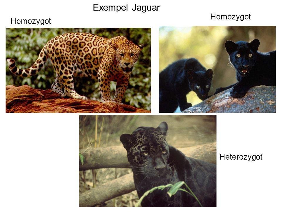 Exempel Jaguar Homozygot Homozygot Heterozygot