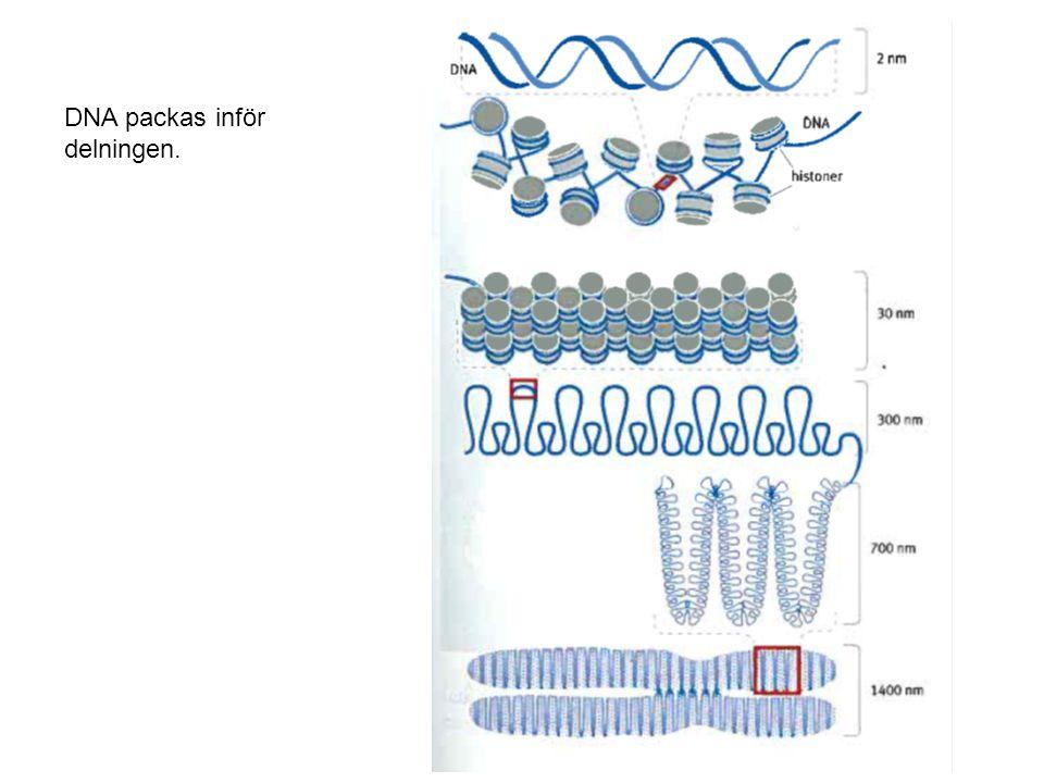 DNA packas inför delningen.
